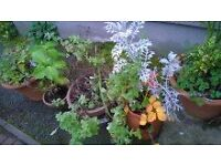 4 large 38 cm pots plant tree hydrangea lavender mint evergreens aloe Vera £15 for all can deliver