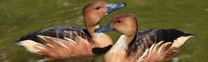 Wanted - Fulvous Whistling duck