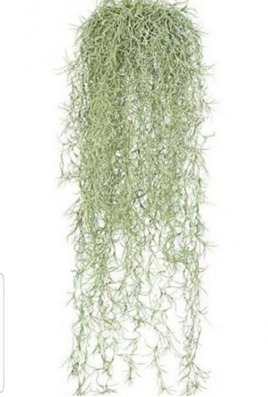 Florida Live Spanish moss Air plant Tillandsia in excellent condition