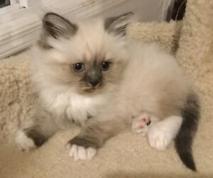 Three 8 weeks old pure breed Himalayan kittens