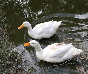 Ducklings Pekin white just hatched girls or boys Balwyn North Boroondara Area Preview