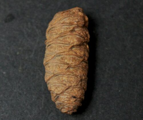 Petrified Para Araucaria Patagonica - Patagonia, Argentina  (24)
