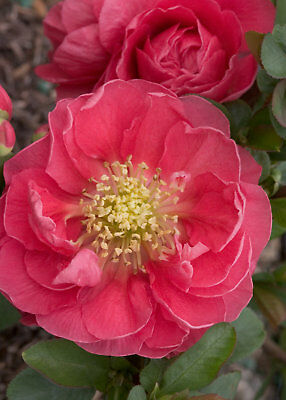 Double Take™ Chaenomeles Pink Storm PPAF- Flowering Quince - Proven Winners