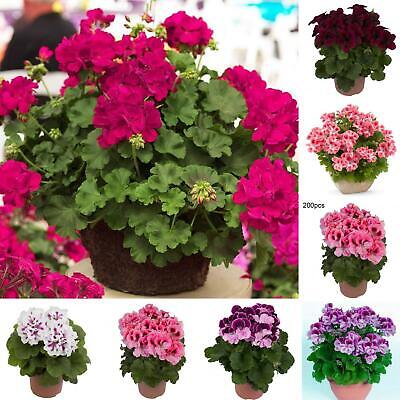 200 Geranium Seeds Mix-Mosquito Repellent Basket Perennial Bedding Plant Mgic Home & Garden