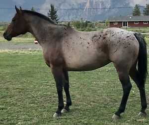 AQHA mare, open to offer or trades