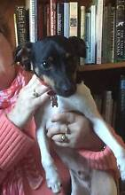 Fox terrier, medium size, tricolour, desexed male. Caringbah Sutherland Area Preview