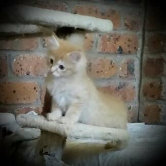 Adorable Siberian x Ragdoll Kittens