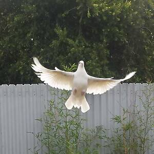 white racing pigeons Capital Hill South Canberra Preview