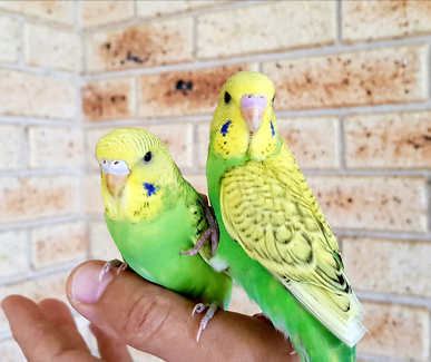 Special 6Tame hand raised BUDGIES $35 new cage $15