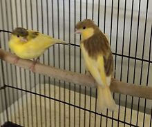 Beautiful Crested Canaries Toogoom Fraser Coast Preview
