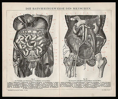 Original Holzstich 1882 Eingeweide Bauch Menschen Lehrtafel Anschauungstafel