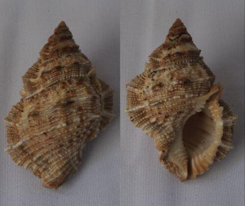 Seashells Bufonaria margaritula FROG SHELLS BURSA 52.mm F+++/GEM Marine Specimen