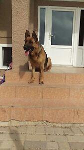 Pure breed German shepherd