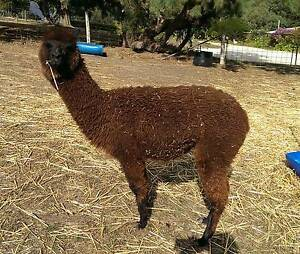 Alpacas for Sale from $500 Mount Barker Area Preview