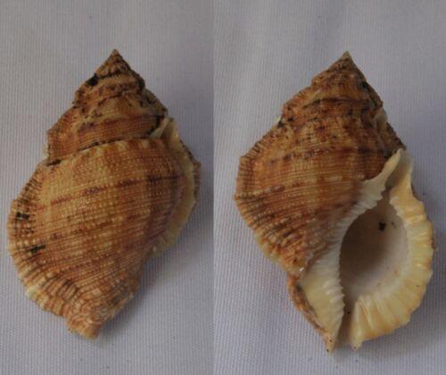 Seashells Bufonaria margaritula FROG SHELLS BURSA 48.7mm F+++/GEM Marine Specime
