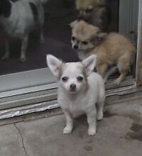 Purebred chihuahua puppies Lethbridge Park Blacktown Area Preview