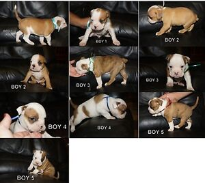 Aussie bulldog puppy's Ardlethan Coolamon Area Preview