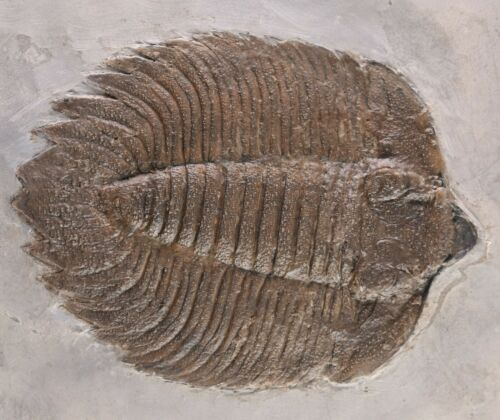 Fossil Trilobite Classic Arctinurus boltoni Rochester Shale New York COA 3568