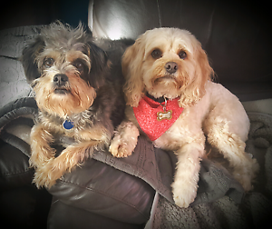 Charlie's Dog Sitting  Service. Small Dog holidays....NO DAYCARE Dingley Village Kingston Area Preview