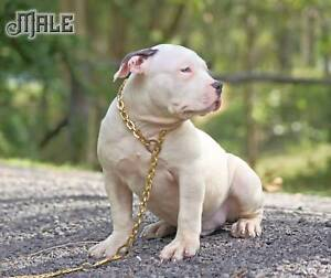 AMERICAN BULLY PUPS Full usa Import Breeding THE REAL DEAL