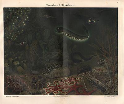 Tiefseefauna Seestern Schildkkrebs Stomias Seegurke  Lithographie 1896