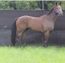 Show horse / racehorse for sale Yandina Maroochydore Area Preview
