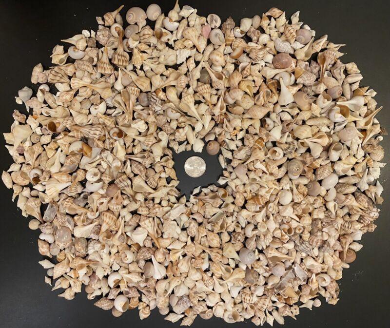 Gorgeous Mini Sanibel Seashells