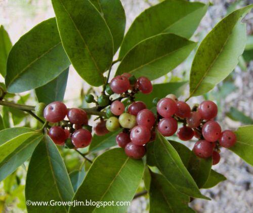 Glycosmis pentaphylla (Ginberry, Orangeberry)- plants/seedlings