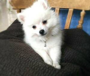 Purebred Pomeranian Puppies Byron Bay Byron Area Preview