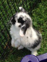 Gorgeous Purebred Mini Lop Baby Rabbit Harrington Park Camden Area Preview