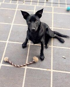 Found black border collie x kelpie in Marsden Capalaba Brisbane South East Preview