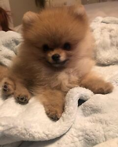 Purebred Pomeranians with papers