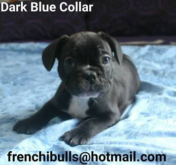French Bulldog Puppies Purebred Blue & Cream carriers DNA TESTED