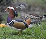 Mandarin Duck Beaudesert Ipswich South Preview