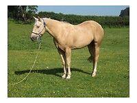 Gorgeous Quarter Horse Gelding