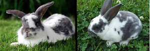 Gray and White MALE Rabbit