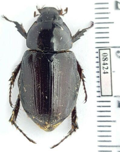 Scarabaeidae, Dynastinae Aspidolea sp. Colombia