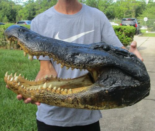 "24.5"" Real Alligator Head  From a 13 Foot Louisiana Gator Taxidermy Swamp Wars"