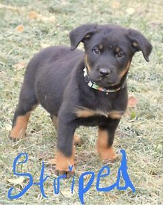 Rottweiler Cross Puppies
