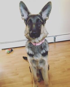 11 month old German Shepherd