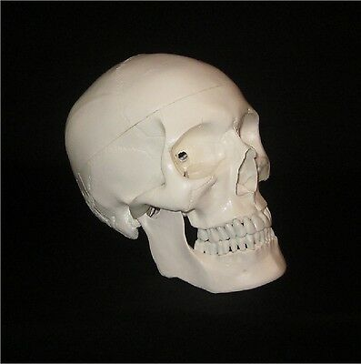 Life Size Human Skeleton Skull Anatomical Anatomy High Quality Study Model
