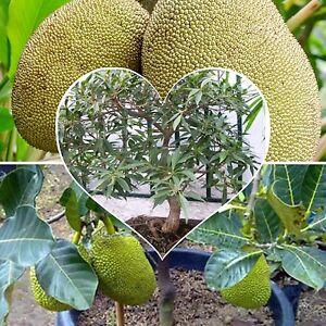 Jackfruit-Largest-fruit-tree-Easy-ideal-bonsai-Seeds-houseplant-patio-Seeds