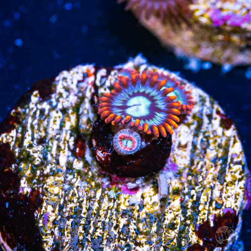 Fire and Ice Zoas ~ WYSIWYG Live Coral Frag ~ World Wide Corals ~ #203