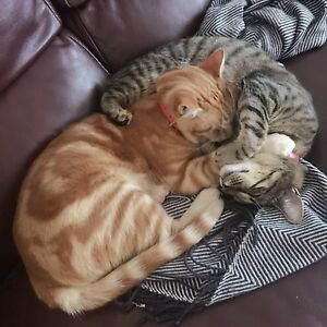 two lovely cat need a cat lover home. Kingswood Penrith Area Preview
