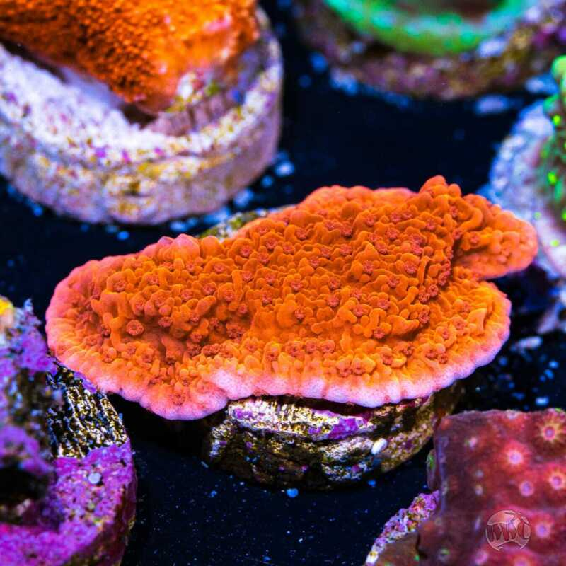 Red Monti Cap ~ WYSIWYG Live Coral Frag ~ World Wide Corals ~ #76