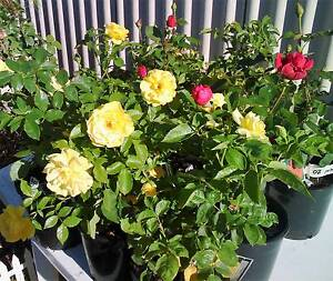Plants For Sale Sunday 11th December 2016 8am-2pm Koondoola Wanneroo Area Preview