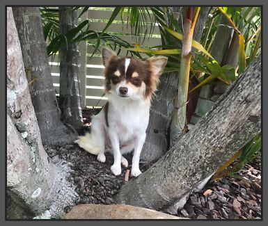 Pedigree Chihuahua Female Available
