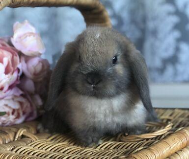 Pure Mini Lop Baby Sold Ppu Rabbits Gumtree Australia Swan