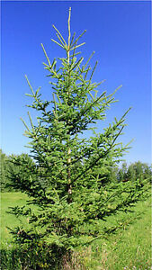 4-6 ft Black and White Spruce