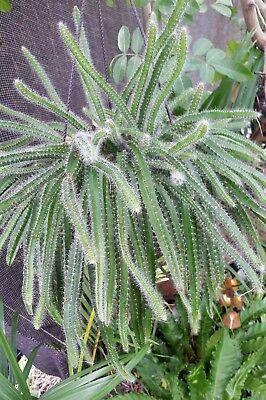 Selenicereus Testudo Dog Tail Cactus Succulent 2  Cuttings, trailing succulent